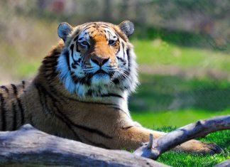 Sumatran Tiger WAZA
